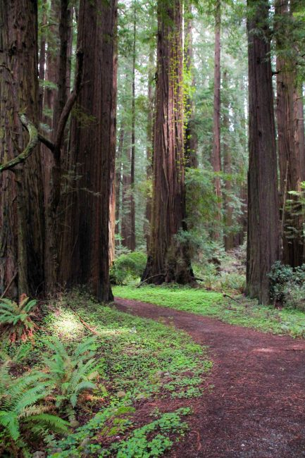 Lower Humboldt County Redwoods
