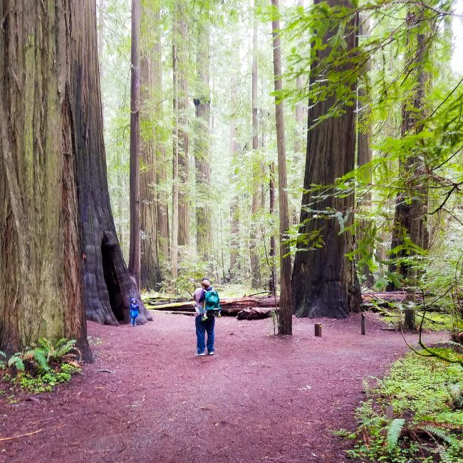 The Founders' Grove Loop in Humboldt Redwoods State Park